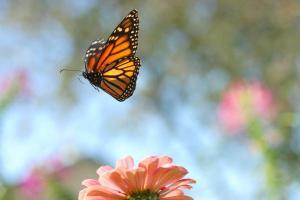 flying-monarch-steve-augustin